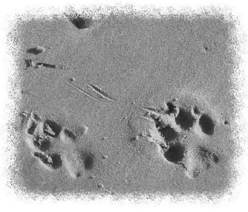 Greyhound Paw Prints